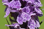 Heath spotted orchid flowers - Alps France ; Prairie Super Morzine, 1,760 m