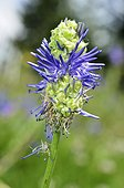 Galle on  Blue-Spiked Rampion flower - Alps France ; Prairie Super Morzine, 1,760 m