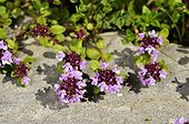 Wild thyme  flowers - Alps France ; Prairie Super Morzine, 1,760 m