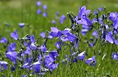 Harebell flowers - Alps France ; Prairie Super Morzine, 1,760 m