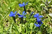 Spring gentian flowers - Alps France ; Prairie Super Morzine, 1,760 m