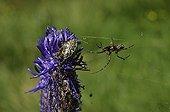 Oak spider female on flower - Alpes France  ; Prairie Super Morzine, 1,760 m