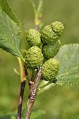 Grey Alder fruits - Alpes France  ; Prairie Super Morzine, 1,760 m