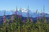 Rosebay Willowherb flowers and Mont Blanc - Alps France ; Mont Chery, 1550 m