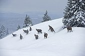 Chamois in snow - Jura Vaud Switzerland
