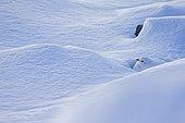 Female ptarmigan in the snow - Alps Valais Switzerland