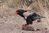Bateleur on Lesser cane rat - Kruger RSA