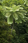 Tree fern - Parc des Grandes Fougeres New Caledonia
