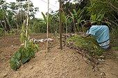 Kanak woman mulching of Yams - New Caledonia