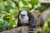 Geoffroy's marmoset on a branch - Monkey Valley France