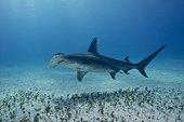Great Hammerhead Shark on sandy bottom - Bahamas Caribbean