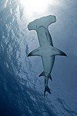 Great Hammerhead Shark under the surface - Bahamas Caribbean