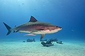 Tiger shark swimming above a sandy bottom - Bahamas