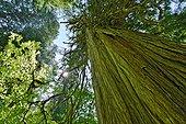 Tronc de Cèdre rouge géant - PN Mont Rainier Washington USA ; Forêt pluviale tempérée de montagne, caractérisée par des précipitations très abondantes et la croissance démesurée de certains conifères (  de 60 mètres)