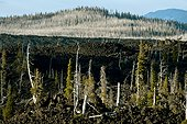 Basalt and dead trees - Mc Kenzy Pass Oregon USA ; Three Sisters Wilderness<br>Dead trees at the bottom are the victims of bark beetles ravaging thousands of acres of pristine forests in the USA and Canada