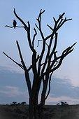 Diurnal raptor silhouette on dead tree - Kenya