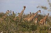 Giraffes in Savannah - Ishaqbini hirola Conservancy Kenya