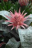 Aechmea 'Primera' in bloom in a garden