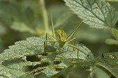 Katydid Bushcricket (Tettigoniidae sp), Corfu, Greece