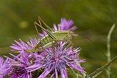 Chabrier's bush-cricket (Eupholidoptera chabrieri) Corfu, Greece