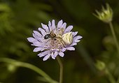 Crab Spider (Thomisidae sp) with Bee (Apidae sp), Corfu, Greece