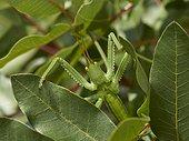 Greek Magician (Saga hellenica), A huge carnivorous bush-cricket, North Corfu, Greece