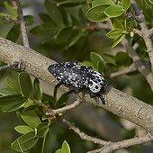 Jewel Beetle (Capnodis cariosa), Corfu, Greece