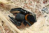 Velvet Spider (Eresus sp) a large, strong spider that feeds mostly on beetles. Corfu, Greece