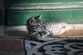 Tabby kitten lying in front of a door - France  ; Age: 1 month
