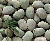 Harvest of almonds