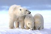 Polar bear and young in the snow - Barter Island Alaska