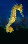 Barbour's  Seahorse - Philippines