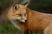 Portrait of Red Fox - Homossassa river Florida USA