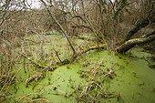 Alder and Duckweed - Swamp Quellen Brittany France