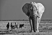 African Elephant and Plains Zebras - Etosha Namibia