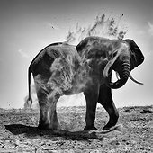 African Elephant taking a dust bath - Chobe Botswana