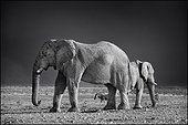 African Elephants and Zebra Plains - Etosha Namibia