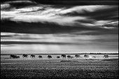 African Elephant walking in the Etosha Pan - Namibia
