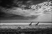 Giraffes running on the Etosha Pan - Namibia