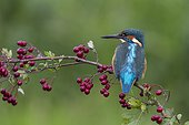 Kingfisher perched on a branch of Hawthorn in autumn - GB