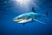 Great White Shark - Guadalupe Island Baja California Mexico