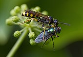 Field digger wasp (Mellinus arvensis)et Greenbottle fly (Lucilia sp)