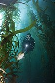 Scuba Diver and Kelp Bass in Kelp forest - Mexico ; San Benito Island