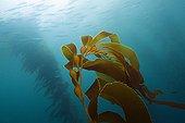 Kelp forest Giant Kelp - San Benito Island Mexico ; San Benito Island