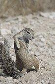 Southern Africa ground squirrel scratching - Etosha Namibia