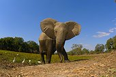 African elephant out of the water - Mana Pools Zimbabwe
