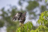 Snail Kite immature on a branch - Amazonas Brazil