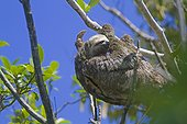 Pale-throated sloth on a branch - Amazonas Brazil