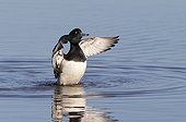 Male Tufted Duck flapping wings on the water in winter - GB