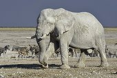 Elephant Zebras and Springboks at waterhole-Etosha Namibia
